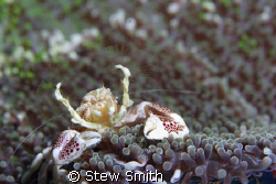 porcelain crab 60mm macro woody diopter by Stew Smith