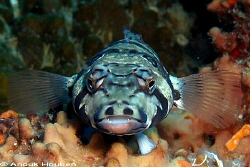 False-eye grubfish, Parapercis clathrata. Picture taken a... by Anouk Houben