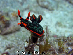 Nembrotha Kubaryana, Canon S70 with Macro Lens by Beate Krebs
