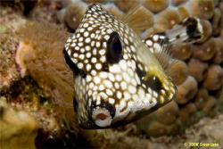 A Bonaire kiss from a very photogenic Smooth Trunkfish. I... by Susan Lunn