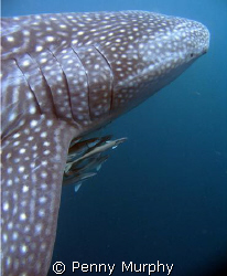 Whaleshark portait, Ningaloo Reef by Penny Murphy