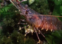 Common Prawn (Palaemon serratus) taken at night in Millpo... by Mr Ken Cameron