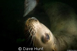 Sea lion, Hornby Island BC  by Dave Hunt