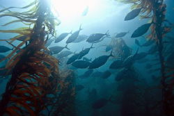 A school of trevally revealed its self through the kelp. ... by Cal Mero