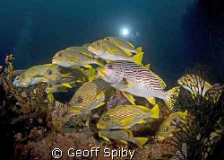 sweetlips, Raja Ampat by Geoff Spiby