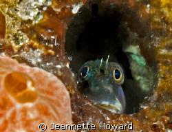Sad Face Blenny:)  Stop looking at me!! by Jeannette Howard