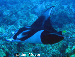 Manta Ray off the Kona coast of Hawaii. This beautiful Ma... by Jim Moser