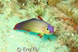 found on barracuda point off of Sipadan by Eric Fly