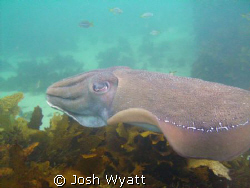 Cuttlefish - Fairy Bower.  My first attempt at underwater... by Josh Wyatt