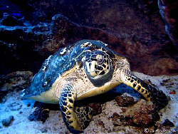 This turtle looks as though he would rather move from his... by Steven Anderson