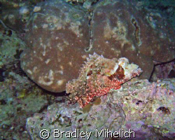 Here is a stonefish sitting off of maeda point in Okinawa by Bradley Mihelich
