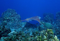 The Spotted Eagle Ray, hard to get close to, but they are... by Steven Anderson
