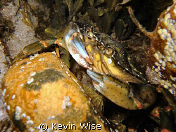 another crab from cullercoats, northeast english coast by Kevin Wise