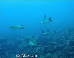 A whole schoal of Pygmy Devil Rays of Layang Layang, 5/23. by Alex Lim