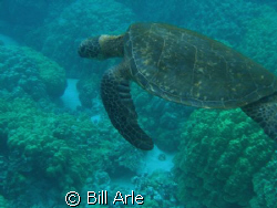 Turtle, Big Island, Hawaii  by Bill Arle