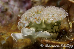 Found this beautiful lettuce sea slug in a very small cov... by Barbara Schilling