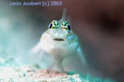 bridled goby, nikon d100, 105mm lens, bahamas... by Leon Joubert