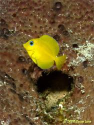 Juvenile Blue Tang, Bonaire, May 2008. Love that brillian... by Susan Lunn