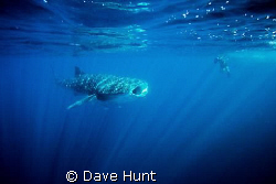 Whale shark feeding in diffused light - Ningaloo Bay Aust... by Dave Hunt
