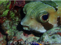 Porcupine fish with the cutest eyes by Tony Greenfield