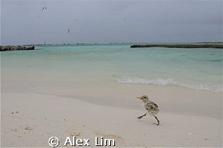 Lil birdy going for walkies after a rainstorm at bird isl... by Alex Lim