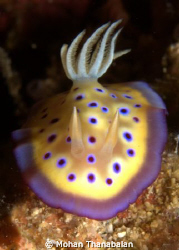 Colours of Life! Chromodoris Kunuei. Pic taken at Lembeh ... by Mohan Thanabalan