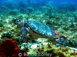 Turtle at Cancun seen this May.  Looks like he is flying.... by Bonnie Conley