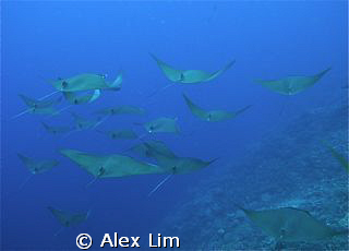 Pgymy devil rays on their morning cruise. D300/S&S/Inon240s by Alex Lim