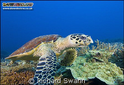 Hawksbill Turtle up close and personal ! Nikon D2x 12mm l... by Richard Swann