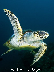 """""""Turtle"""" from Raja Ampat, West-Papua by Henry Jager"""