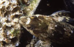 Blenny, shot in Baleal, Portugal, using Nikonos V, 1:1 ex... by Joao Pedro Tojal Loia Soares Silva