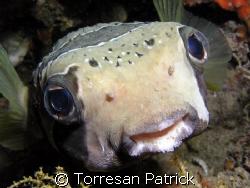 Pesce istrice by Torresan Patrick