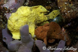 Two longlure frogfish sitting peacefully side by side! Ta... by Barbara Schilling