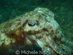 A cute little cuttlefish. I just never get tired of them. by Michelle Ng