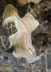 Candy stripe flatworm. D200, 2x converter, 60mm, wet diop... by Derek Haslam