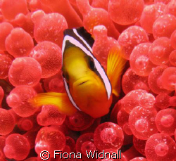 Clownfish in red bubble anenemone at Fung Giri, Lhaviyani... by Fiona Widnall