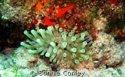 Anemone seen at Isla Mujeres seen this May 2008.  Photo t... by Bonnie Conley