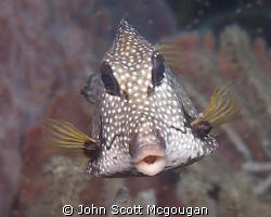 A smooth trunkfish was batting its eyelashes at us throug... by John Scott Mcgougan