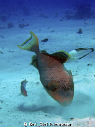 Triggerfish, (Pseudobalistes flavimarginatus) by Bea & Stef Primatesta