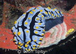 nudi laying eggs by Geoff Spiby