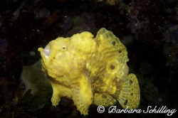 Frogfish on the move! by Barbara Schilling