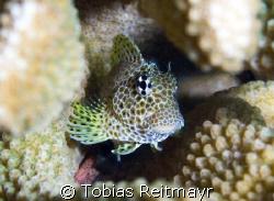 Shy leopard blenny hiding inside staghorn coral, Koh Bon,... by Tobias Reitmayr