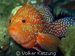 Grouper by Volker Katzung