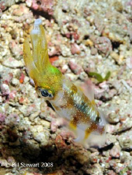 Squid taken during a night dive at Koala Reef in Anilao, ... by Bill Stewart