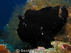Black frogfish sitting on his OUTLOOK fishing for complim... by Beate Krebs