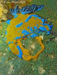Verco's Tambja (Tambja verconis) laying an egg ring. <><>... by Brian Mayes