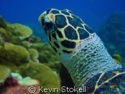 """Saw this Turtle at """"Watamula"""" at the West Point of Curaca... by Kevin Stokell"""