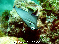 An unusual slant on the Gray Angelfish.  This photo was t... by Bonnie Conley