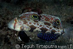 Twinspot goby...fully extending its fins...captured using... by Teguh Tirtaputra