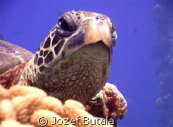 """""""Siesta"""",,,,,green sea turtle at cleaning station by Jozef Butala"""